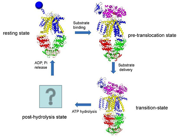 Jue chen phd research abstract hhmi figure 1 the maltose transport cycle ccuart Image collections